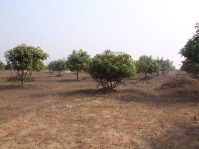 コンガリア村のマンゴーの木
