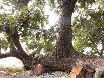 インドコンガリア村にある神聖なサティの木